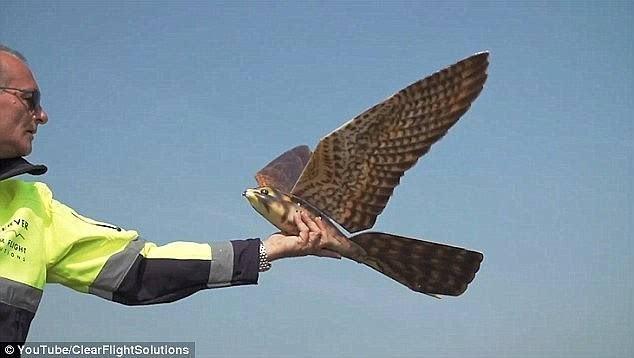 加拿大机场将启用仿鹰无人机 驱逐鸟群  科技资讯 第2张