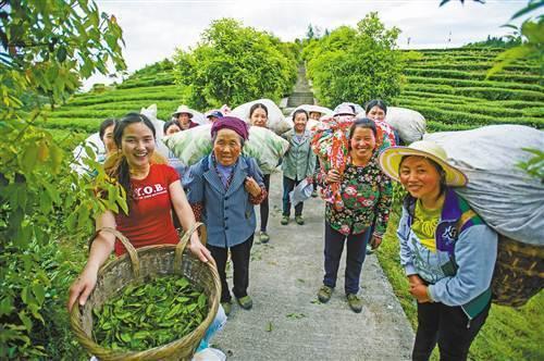 酉阳土家族苗族自治县木叶乡木叶村种植的3000余亩乌龙茶,正值采摘期图片