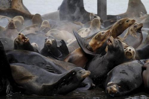 """动物凶猛 小女孩观看野生海狮不慎遭拖下水"""""""