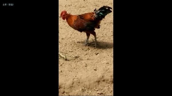 京东跑步鸡:大白鹅巡逻/搭配一定比例母鸡/售169元一只的照片 - 2
