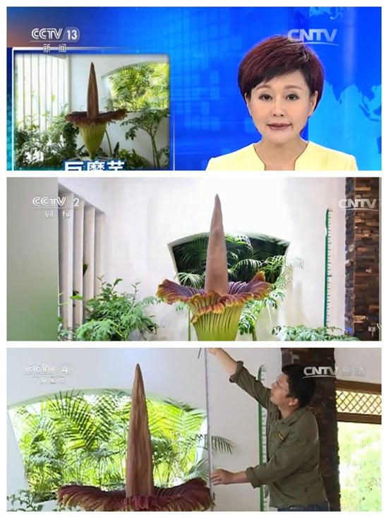 西双版纳热带植物园巨魔芋开花展示引爆媒体