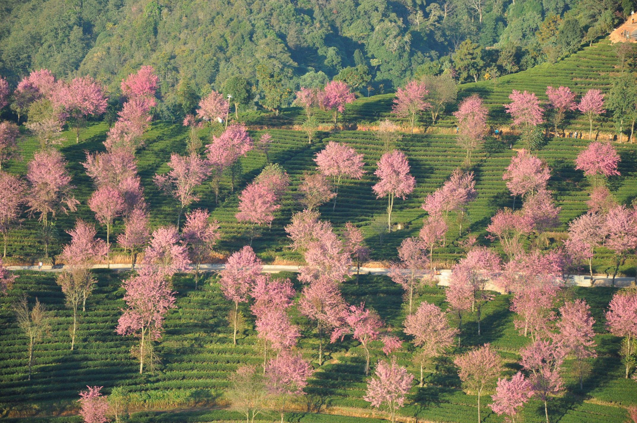 樱花谷,这些樱花本是为茶树遮阴而种,没想到现在却成了一道独特的风景
