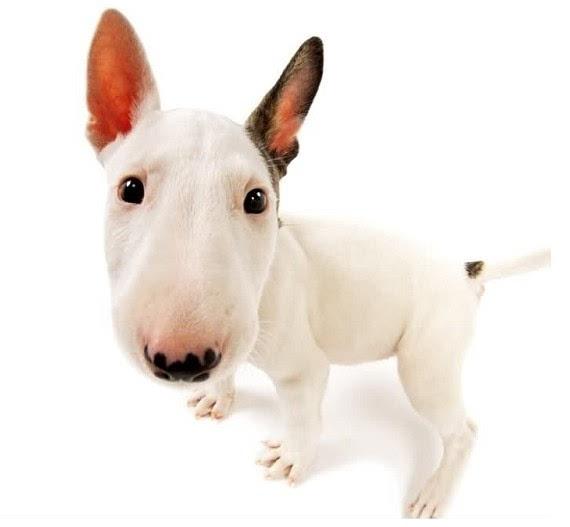 狗怀孕b图_朋友说这狗就是兔子,憨态可掬,显得十分二b,其实就是孙红雷同款.