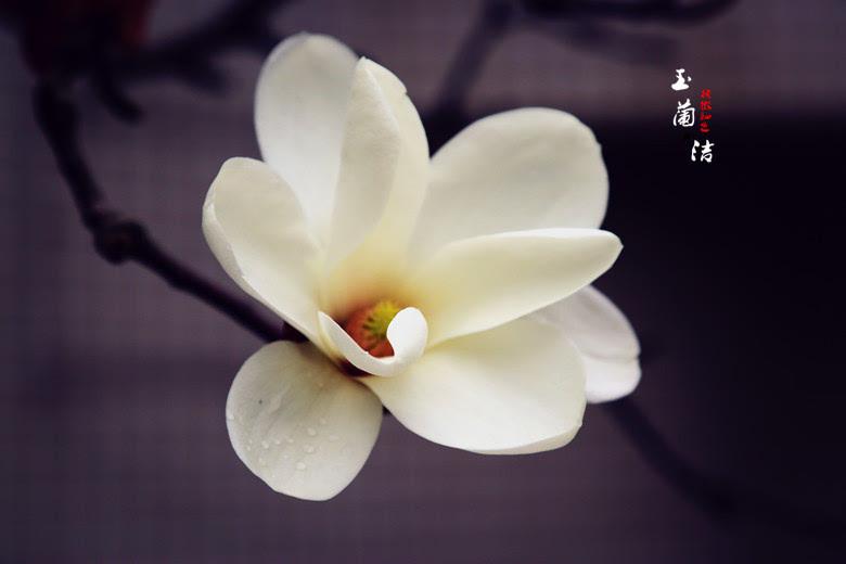冰清玉洁:上海市花白玉兰【最美春色】