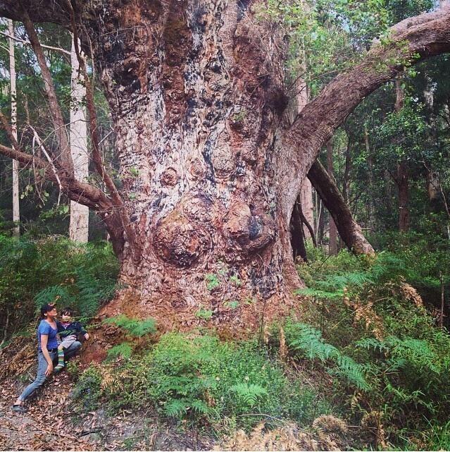 此乃世界上最古老的桉树,别忘了抱着大树留张合影哟
