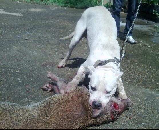 从打猎的视频上看,杜高喜欢直接冲上去咬脖子放血,如果把人当做猎物