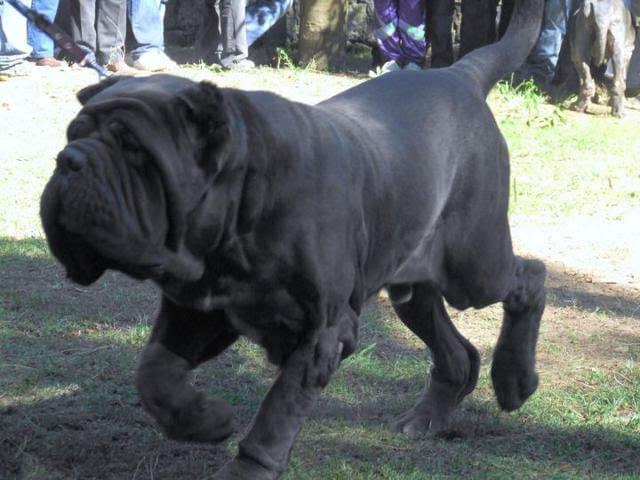 2只藏獒咬死一头狮子 世界九大顶级恶犬排行榜图片