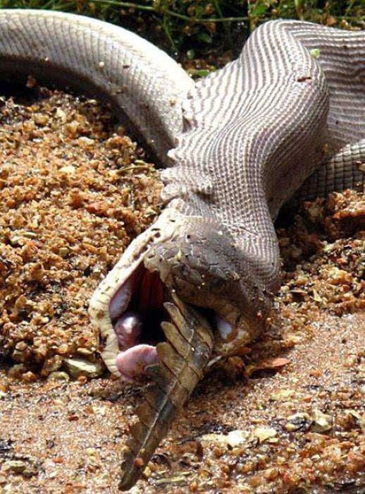探秘蟒蛇大战食人鳄!究竟谁更厉害?