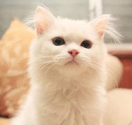 一只可爱可爱的小白猫