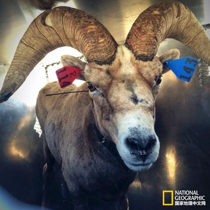 雄性大角羊也是约塞米蒂国家公园的新居民,其角要比雌性大的多,体重更是能达到雌性的两倍重。   摄影:Steve Bumgardner, 国家公园管理局/约塞米蒂国家公园保护协会/美联社   接下来,他们会把大角羊的脖子弄湿,使其颈静脉暴漏出来以便抽血化验。然后再用鼻拭子和粪便拭子测试其是否有疾病和寄生虫。   在做这些事情的时候工作人员会尽量保持安静。与此同时,他们会用直肠温度计跟踪测量羊的温度,体温能够反映其紧张程度。   尽管对羊做了各种折腾,它们的呼吸还是会慢慢平稳下来,大角羊的镇定程度确实非
