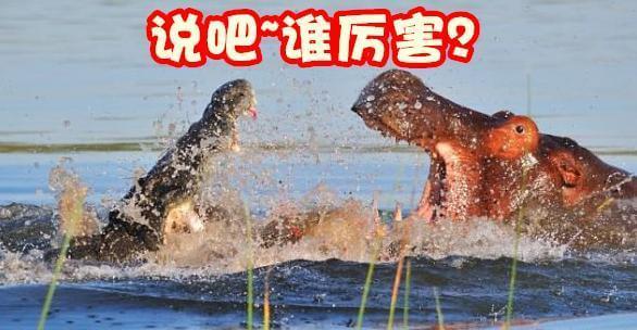 鳄鱼怕河马