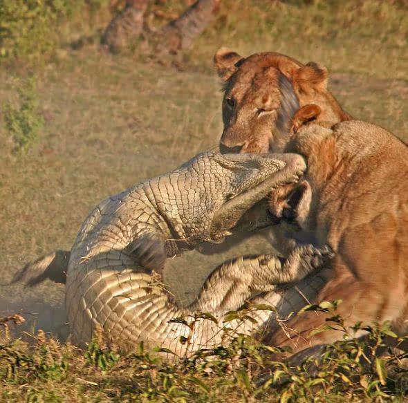 有一只老虎 看见曾打败过自己的水牛