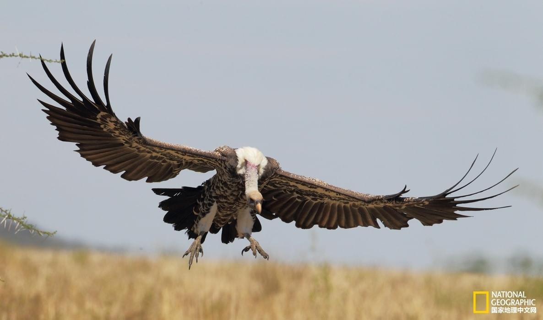 另一片大陆的危机 非洲秃鹫正面临灭绝