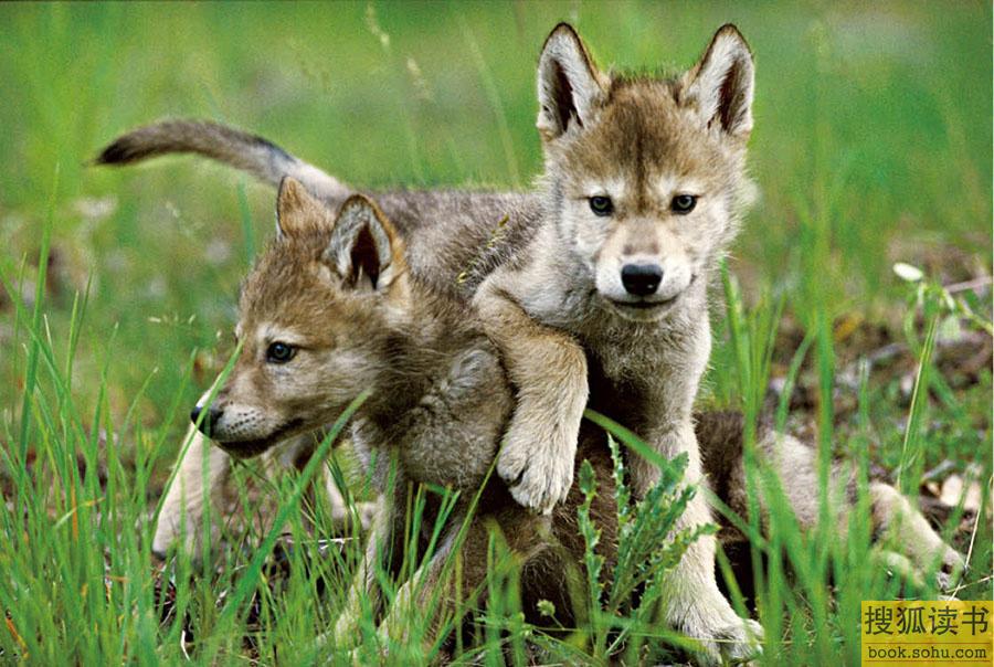 狼的隐秘生活:一个与狼生活6年的动人故事