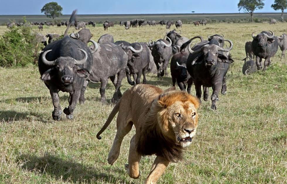 非洲狮子遭野牛群狂追 仓皇逃命