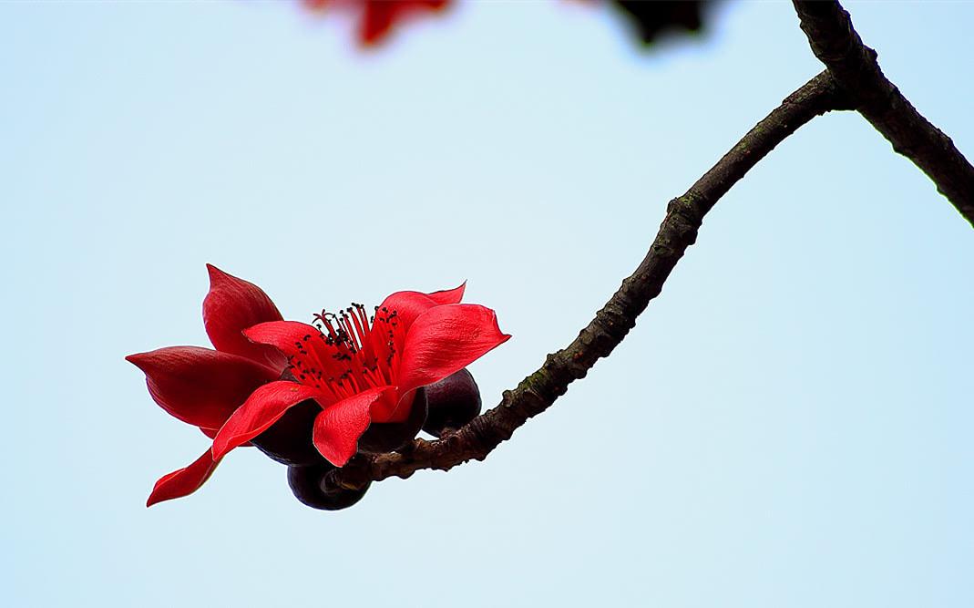 广州的木棉花开了