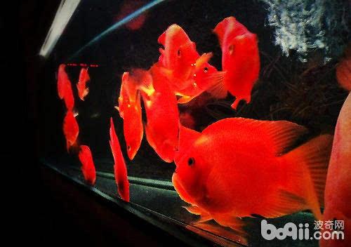 鹦鹉鱼可以和哪些观赏鱼混养