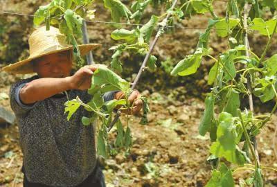 打蔫千亩猕猴桃树 折断川西最大朴树图片
