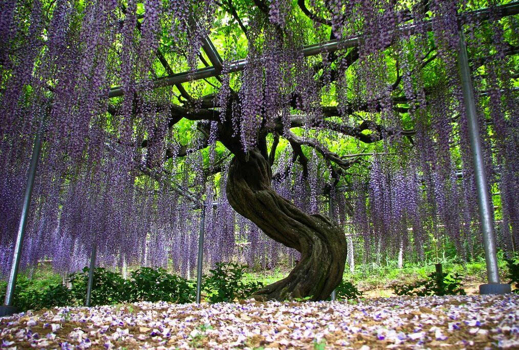 日本144岁紫藤美的像烟火