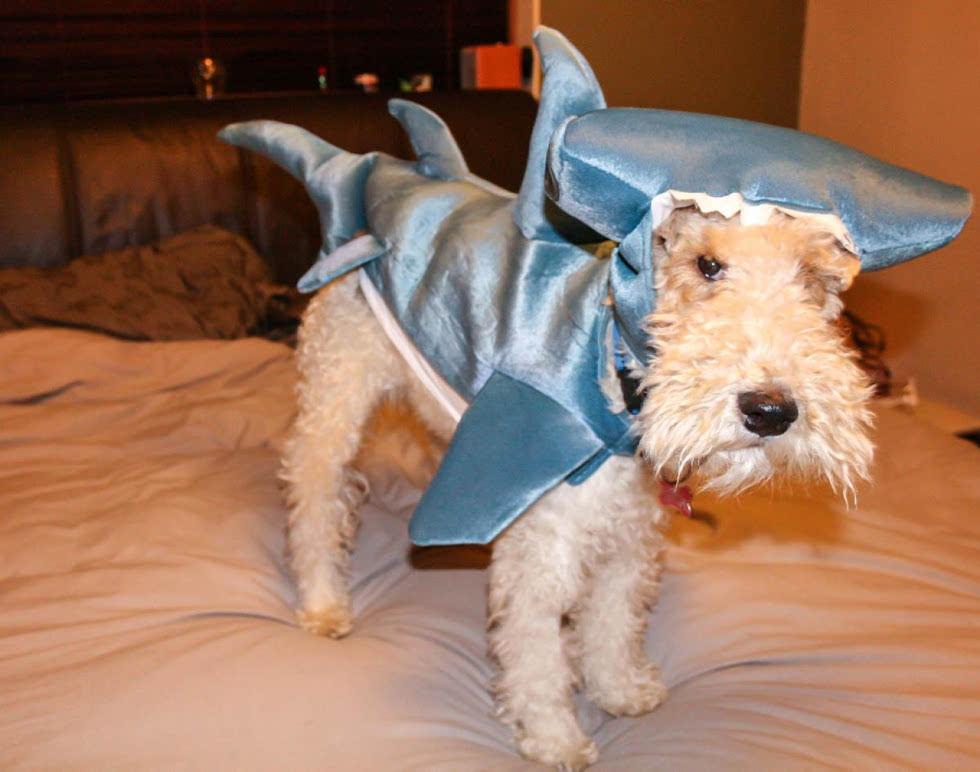 宠物换装扮鲨鱼 电视上露脸又呆又萌