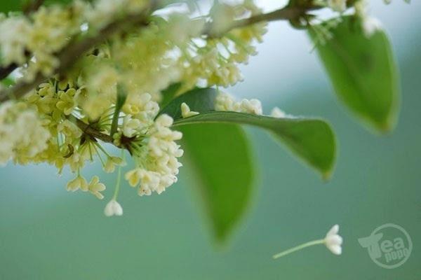 八月桂花香,我们徜徉在花树下