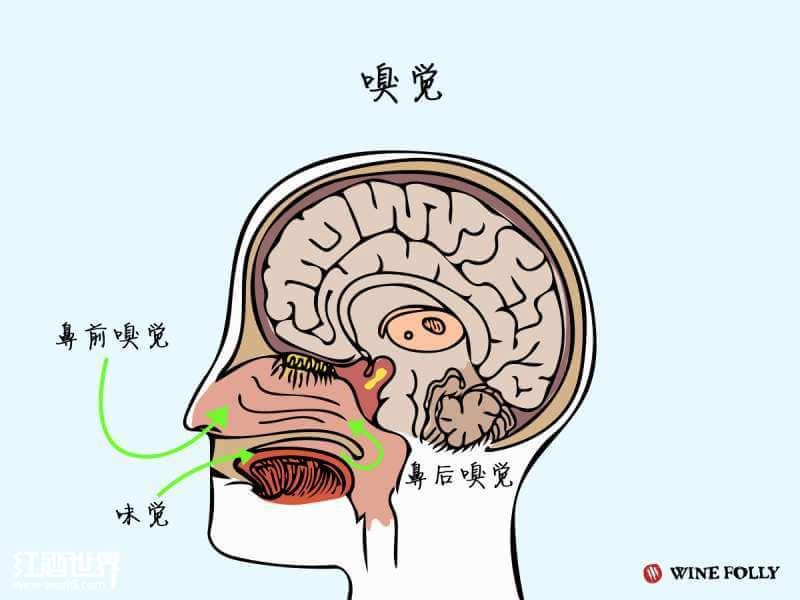 当我们把酒杯凑近鼻子时,使用的就是鼻前嗅觉;内部渠道则是指鼻后嗅觉