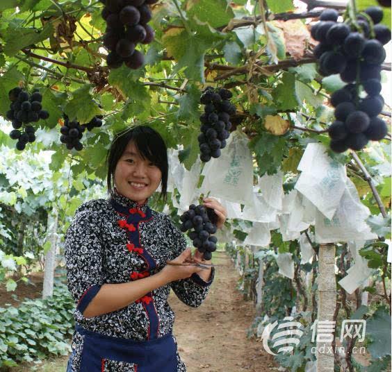 第29届青岛大泽山葡萄节将于9月1日盛大开幕