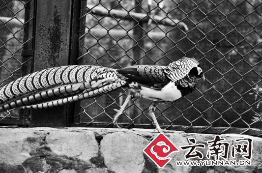 8只白腹锦鸡险些上餐桌 玉溪民警救下送往野生动物园