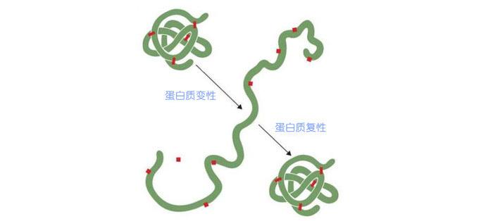 即让变性失活,结构乱掉的蛋白质恢复活性,重新折叠成正常的结构.