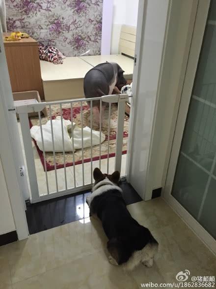 北京被窝养170斤女生猪和猪同宠物睡辣姑娘鸡