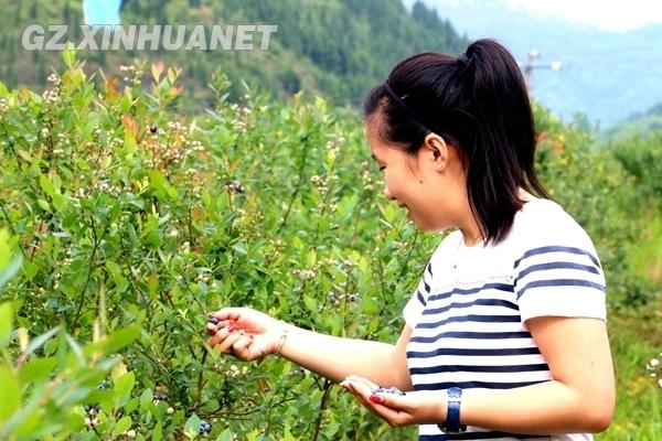麻江:五月蓝莓飘香 农业观光吸引游人图片
