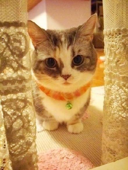 曼基康小奶猫 小短腿中的至尊小短腿!