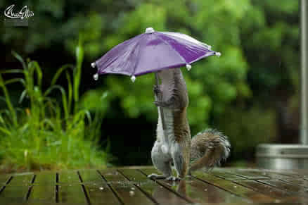 萌化苍老的心啊!小松鼠下雨天撑伞