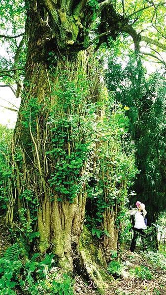 利川700年古银杏树