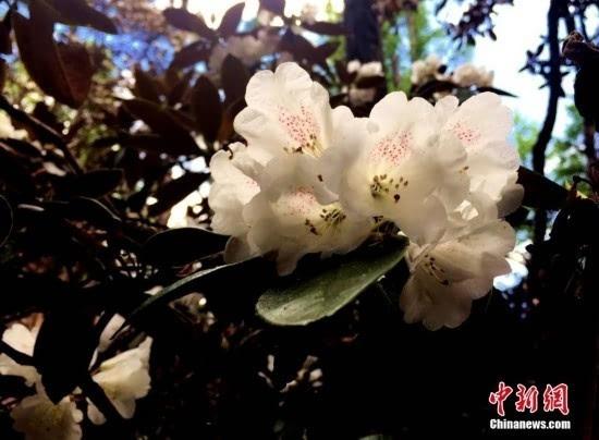 四川得荣嘎金山野生杜鹃花竞相开放/组图