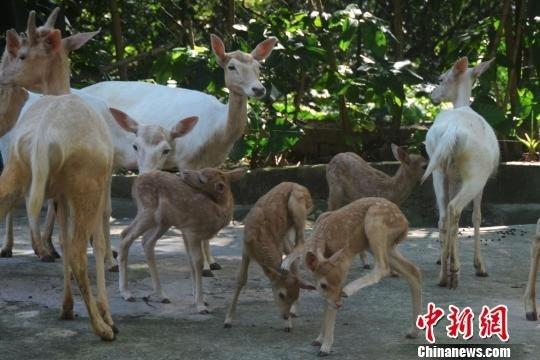 深圳野生动物园黇鹿家族一天添四娃(图)