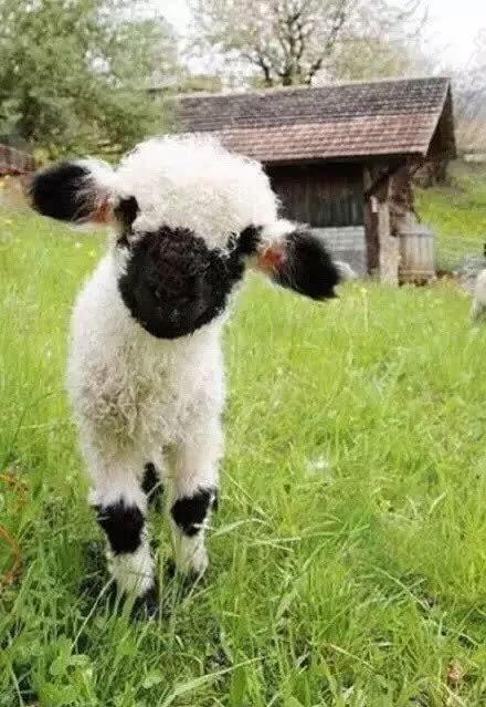 沙漠里地羊动物图片
