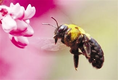 蜜蜂画法步骤图解