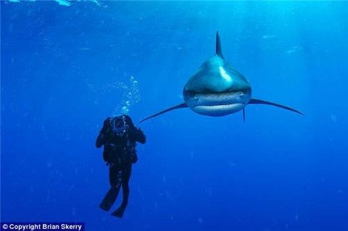 摄影师拍摄海底动物:半透明海虾海葵中穿梭图