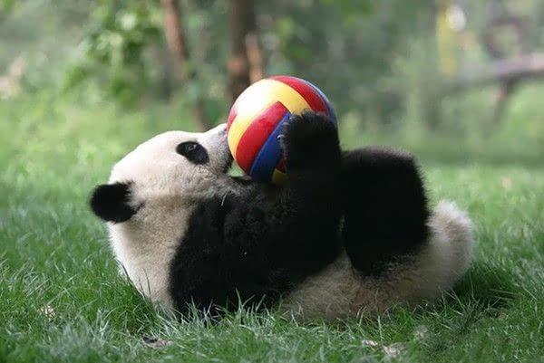 大熊猫入园咯!全世界最可爱的托儿所