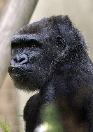 大猩猩咧嘴笑的东西甩表情表情包图片