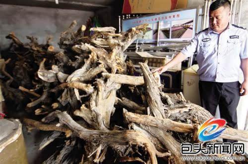 男子盗采1.1吨野生侧柏树根被抓现行