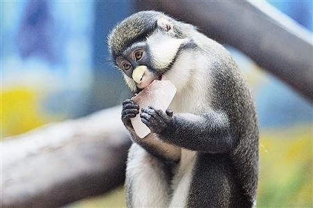 动物明星清凉度夏:猴子吃冰 棕熊洗冷水浴图