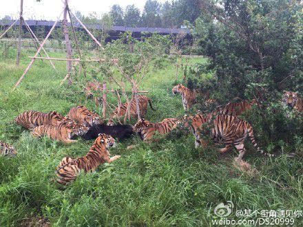 上海野生动物园一群老虎活活咬死狗熊