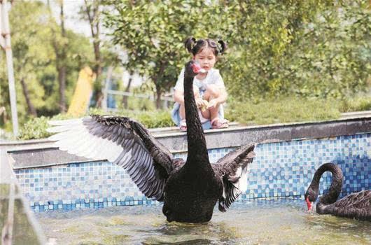 为:鸟语林最后两只黑天鹅 楚天都市报记者叶茂林摄-图文 鸟语林最图片