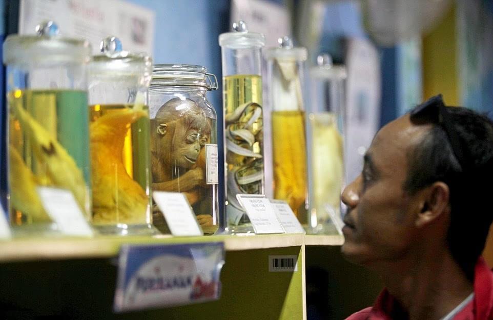 印尼办罐装动物标本展览