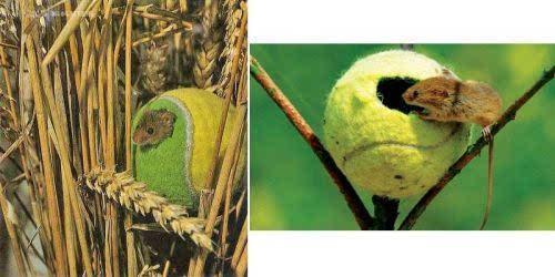 巢鼠通常用草和芦苇的叶子编织自己的小窝,并放在植物的枝干上.