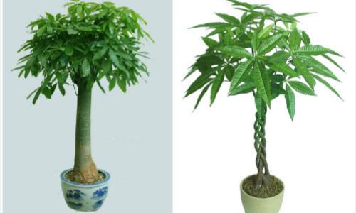 第三种,常春藤,可以摆放在客厅的玄关处或者是靠近窗户的地方.