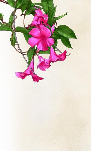 飘香藤:花满架 香满屋