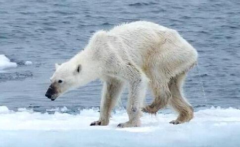 心碎!白白胖胖的北极熊竟瘦成狗样